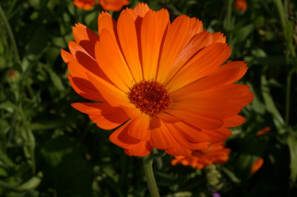 Ringblomst er ettårig, 40-60 cm høg og er svært lett å dyrke selv. Den kan sås direkte i mai. Blomstene er i flere nyanser fra gult til oransje.