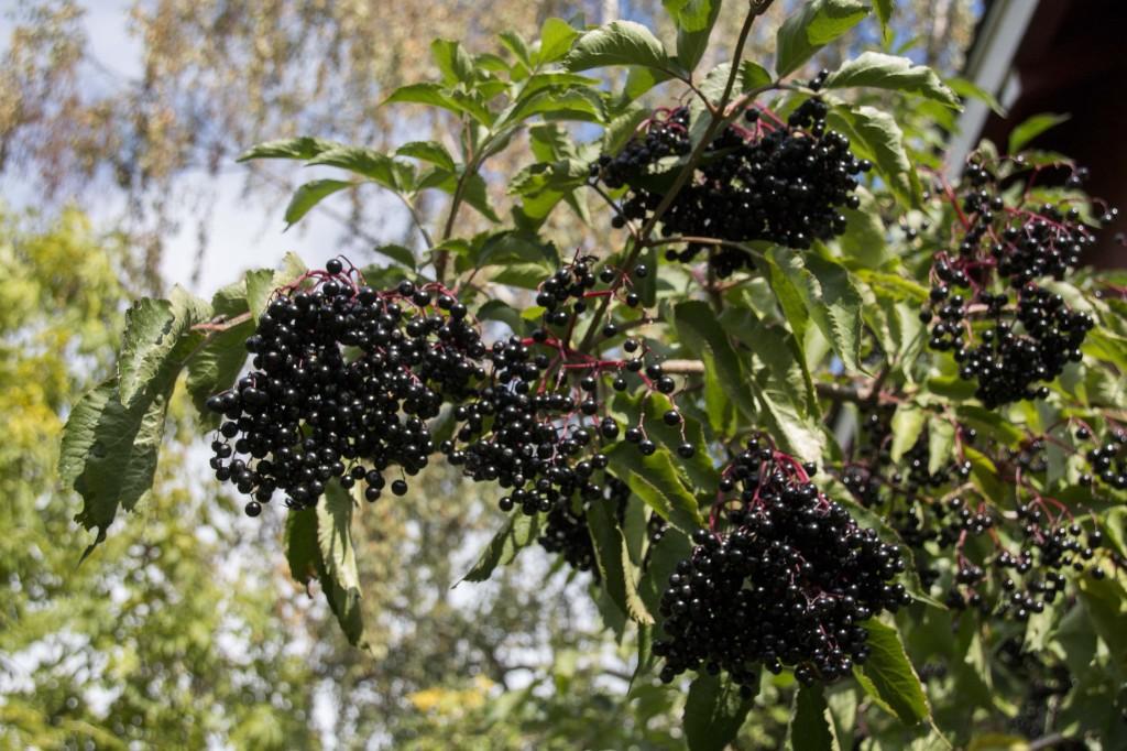 Klaser av svarthyllbær