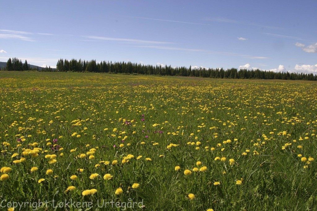 Dandelion meadow.