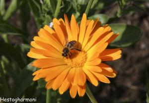 Ringblomst med bie
